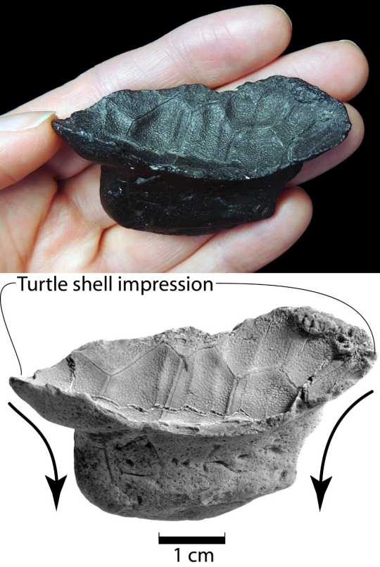 baby turtle shell found for the first time ever in